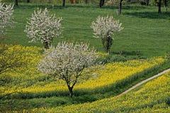 валы рапса Германии поля вишни Стоковое фото RF