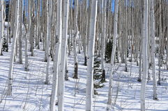 валы снежка березы Стоковые Фото