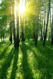 валы солнца березы Стоковые Фото