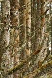 валы сосенки пущи Стоковое Фото