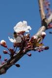 валы цветеня миндалины Стоковые Фотографии RF