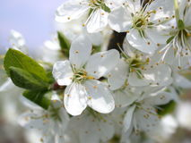 валы цветка aple Стоковое фото RF