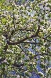 валы яблока blossoming Стоковая Фотография RF