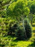 валы evergreen осины стоковая фотография