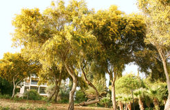 валы mimosa Стоковые Фотографии RF