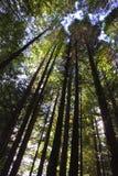 валы redwood Стоковые Фотографии RF