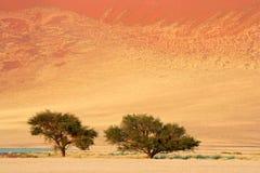 валы sossusvlei Намибии акации африканские Стоковые Фото