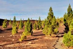 валы tenerife teide сосенки национального парка стоковые фотографии rf