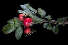 вальма пука ягоды подняла Стоковые Фото