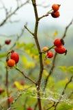 Вальма Rose стоковое фото