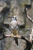 вал американского kestrel ветви птицы сидя Стоковая Фотография RF