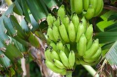вал бананов зеленый Стоковое Изображение