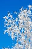 вал березы морозный Стоковое Изображение RF