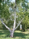 вал березы одиночный Ствол дерева березы Стоковое Фото