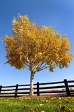 вал березы осени Стоковая Фотография