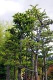 вал бонзаев японский востоковедный Стоковое Изображение