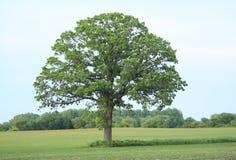 вал величественного дуба совершенный стоковое фото rf