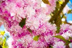 вал весны вишни японский Стоковая Фотография RF