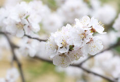 вал весны вишни Стоковое Изображение RF
