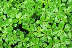 вал весны листьев плюща Стоковое Изображение