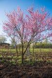 вал весны пинка персика цветков цветения полный был Стоковое Фото