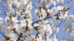 вал весны предпосылки абрикоса цветя акции видеоматериалы
