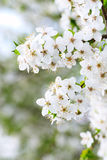 вал весны предпосылки зацветая Стоковые Изображения RF