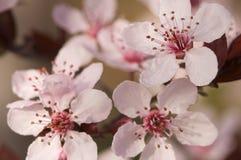 вал весны цветений предыдущий розовый Стоковые Фотографии RF