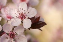 вал весны цветений предыдущий розовый Стоковое Изображение