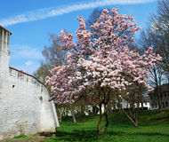 вал весны magnolia Стоковое Фото