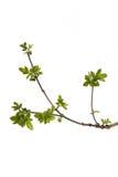 вал ветви зеленый Стоковые Изображения RF