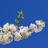 вал ветви цветя Стоковые Фотографии RF