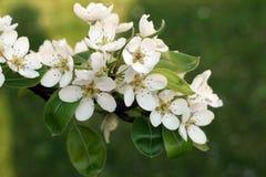 вал ветви яблока зацветая Стоковая Фотография