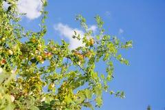вал ветви яблока Стоковые Изображения RF