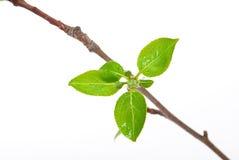 вал ветви яблока стоковая фотография