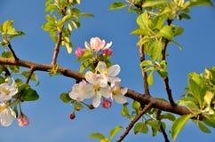 вал ветви яблока blossoming Стоковая Фотография