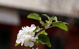 вал ветви яблока blossoming стоковая фотография rf