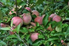 вал ветви яблок зрелый Стоковая Фотография