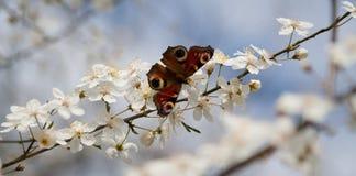 вал вишни бабочки Стоковые Фотографии RF