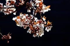 вал вишни ветви цветеня Стоковые Фотографии RF