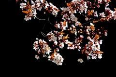 вал вишни ветви цветеня Стоковое Изображение RF