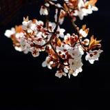 вал вишни ветви цветеня Стоковая Фотография