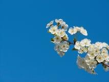 вал вишни цветения Стоковые Фотографии RF