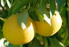 вал грейпфрута Стоковые Изображения RF