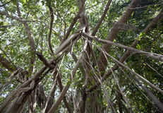 вал дождевого леса смоквы баньяна тропический стоковые фото