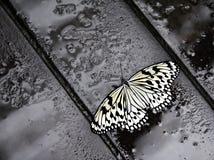 вал дождя нимфы бабочки Стоковое Фото
