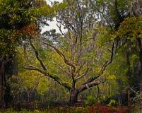 вал дуба в реальном маштабе времени florida Стоковая Фотография
