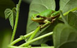 вал европейских листьев лягушки сидя Стоковая Фотография RF