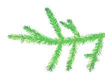 вал ели ветви Стоковые Изображения RF