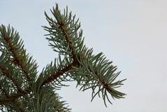 вал ели ветви Стоковая Фотография RF